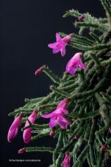 Schlumbergera microsphaerica (Aufs. Thieken) (Foto Jochen Bockemühl)