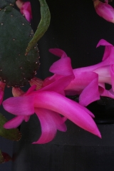 Schlumbergera opuntioides AH716A (Foto Jochen Bockemühl)