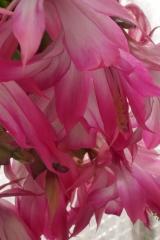 Schlumbergera orssichiana (Foto Ruud Tropper)