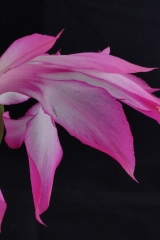 Schlumbergera orssichiana KS25 'Eckhard' (Foto Ruud Tropper)
