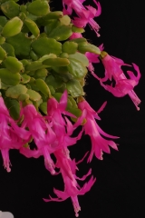 Schlumbergera russelliana 'Ehlers' (Foto Ruud Tropper)
