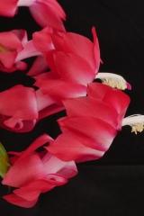 Schlumbergera truncata A11 (Foto Ruud Tropper)