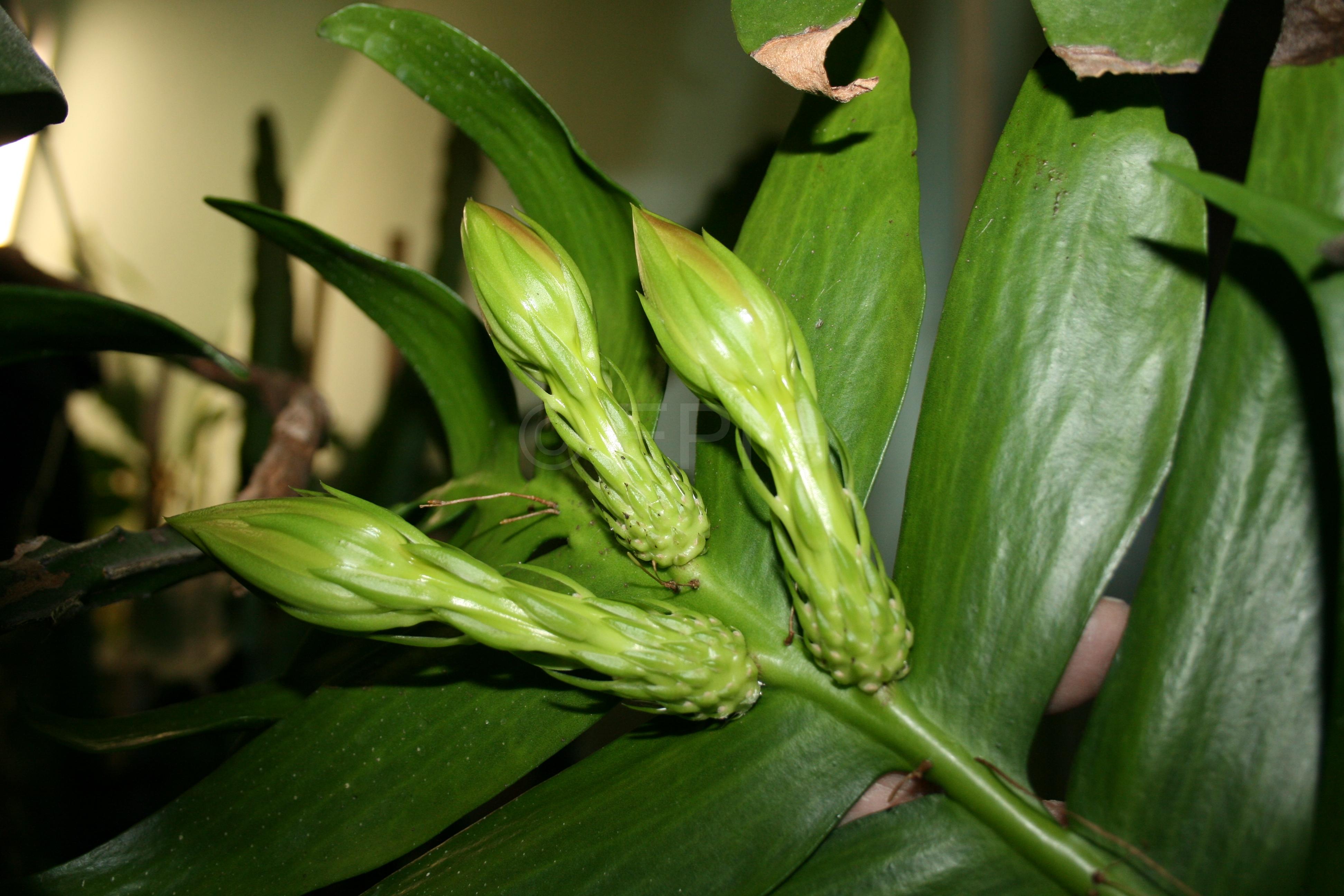 Selenicereus chrysocardium (Knospen) (Foto Walter Widmann)