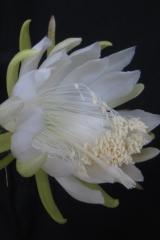 Selenicereus glaber (ex Weberocereus) (Foto Horst Kündiger)