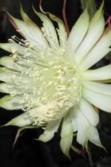 Selenicereus spinulosus (Foto Rudolf Bölderl)