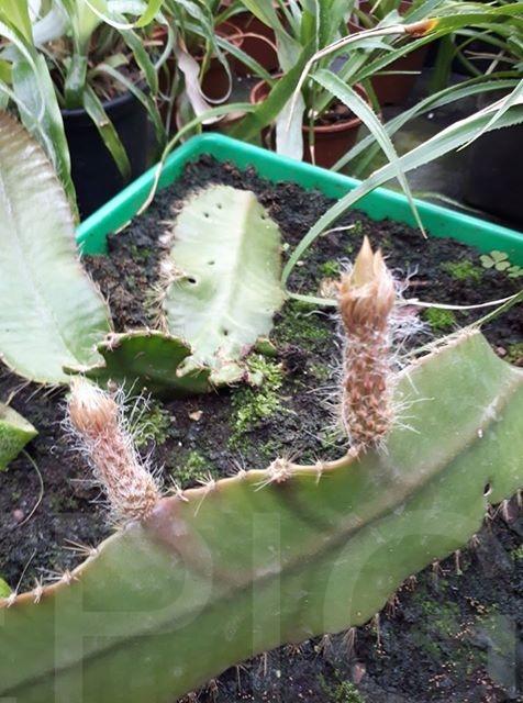 Strophocactus wittii (Foto Tobias Pfeil)