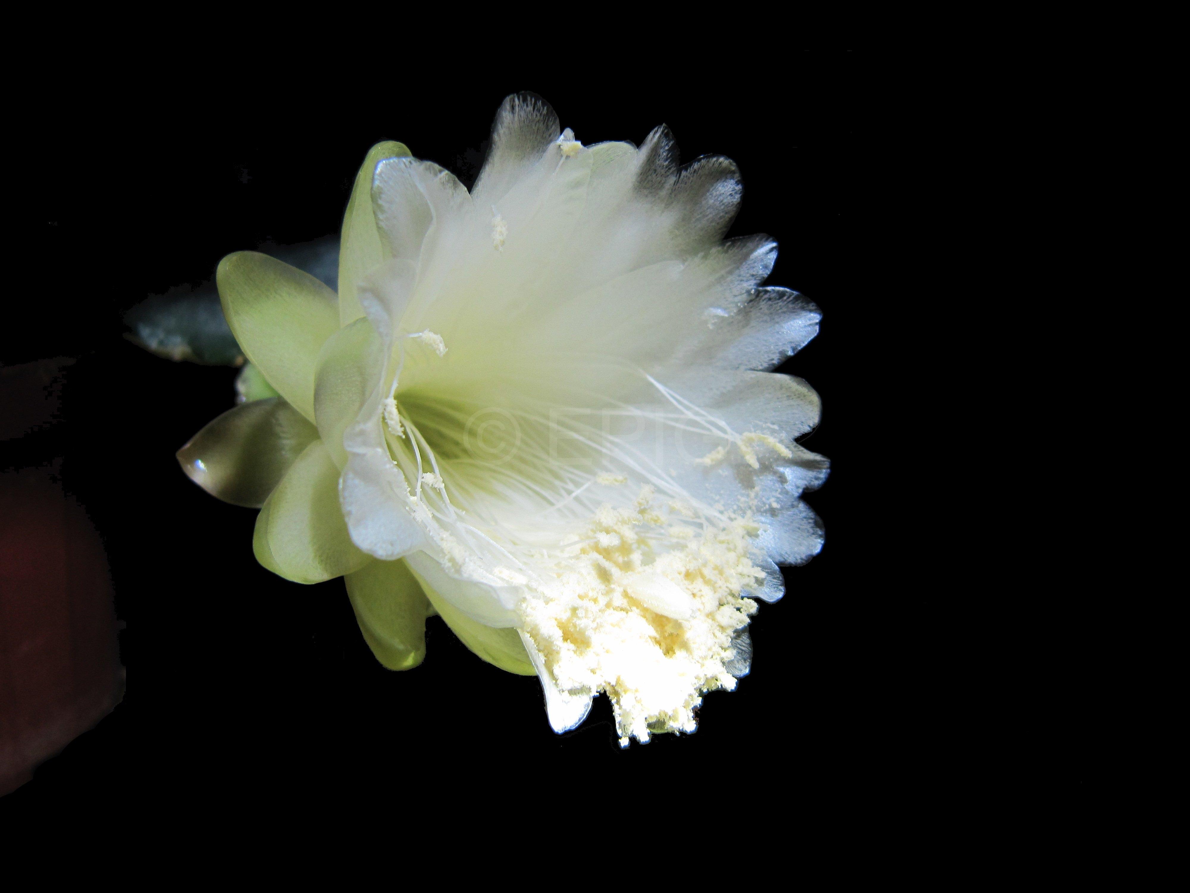 Weberocereus bradei (Foto Horst Kündiger)