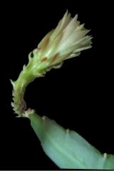Weberocereus rosei (Foto Horst Kündiger)